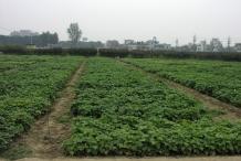 Black-gram-farm