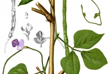 Illustration-of-Black-gram-plant