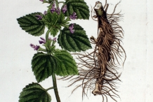 Illustration-of-Horehound