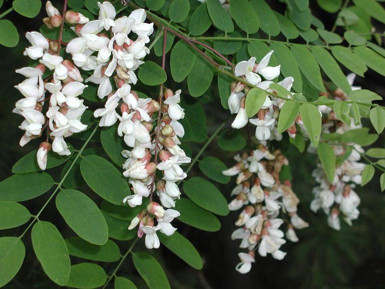 Flowers-of-Black-locust