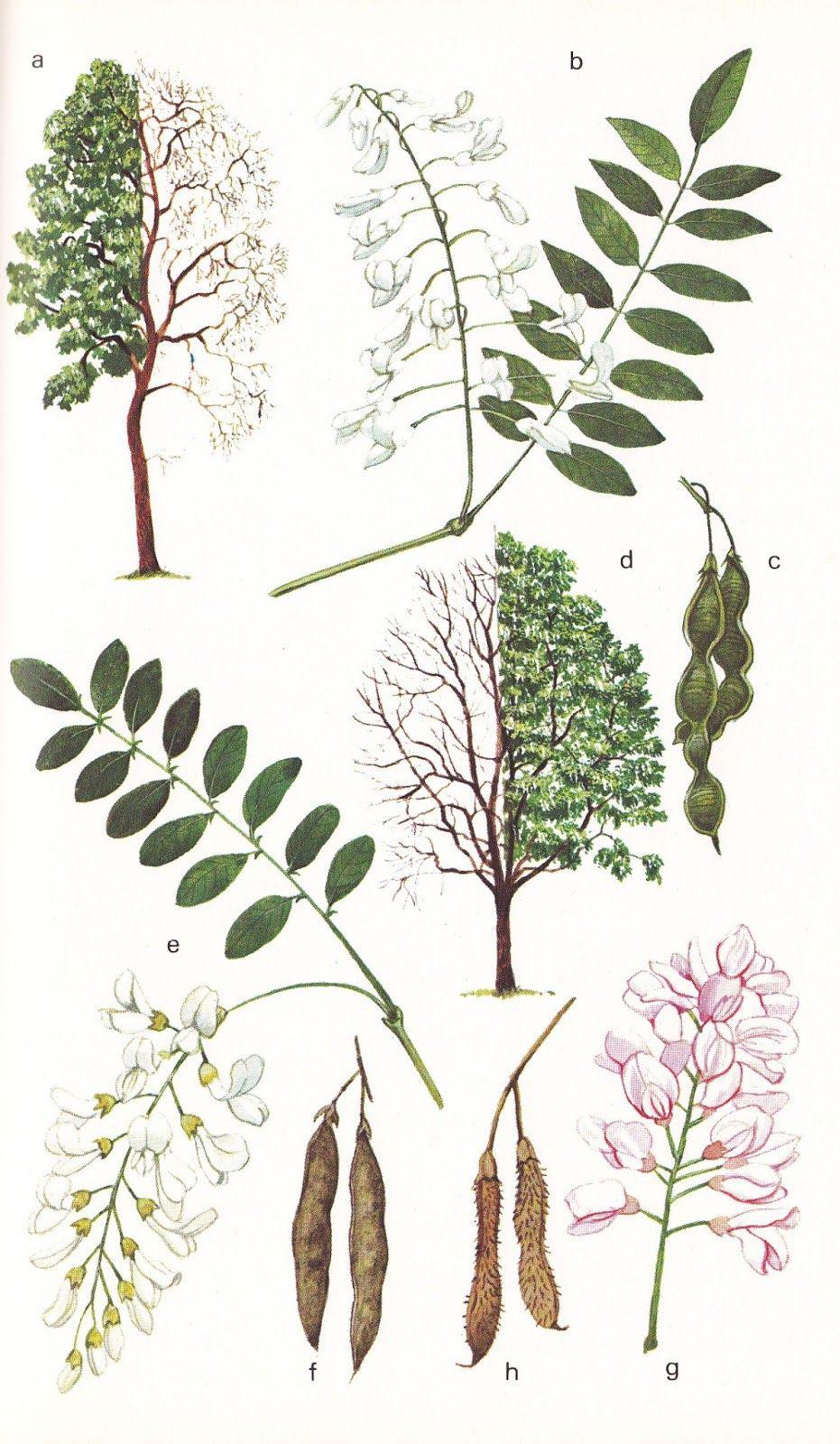 Plant-Illustration-of-Black-Locust