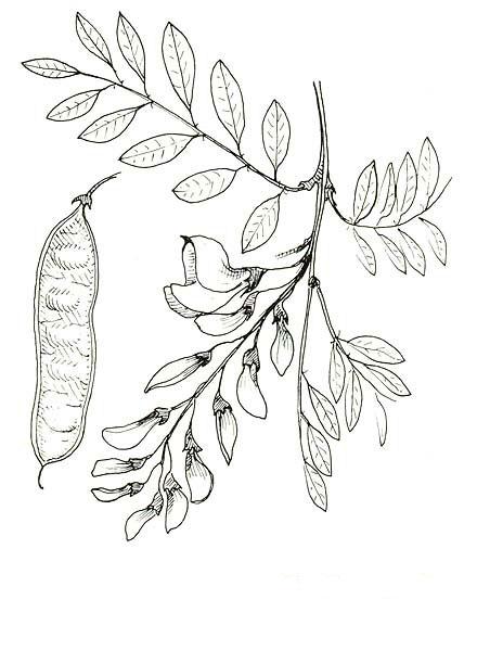 Sketch-of-Black-locust