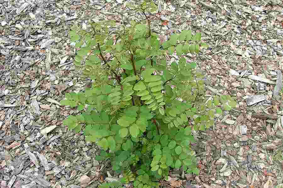 Small-Black-locust-Plant