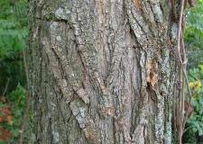 Bark-of-Black-locust
