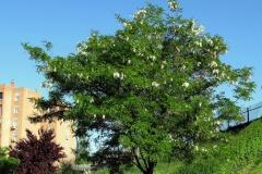 Black-locust-Plant