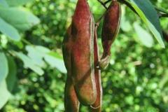 Immature-fruits-of-Black-Locust