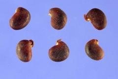 Seeds-of-Black-Locust