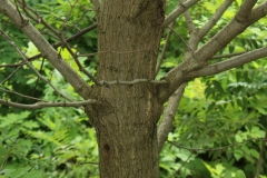 Trunk-of-Black-locust