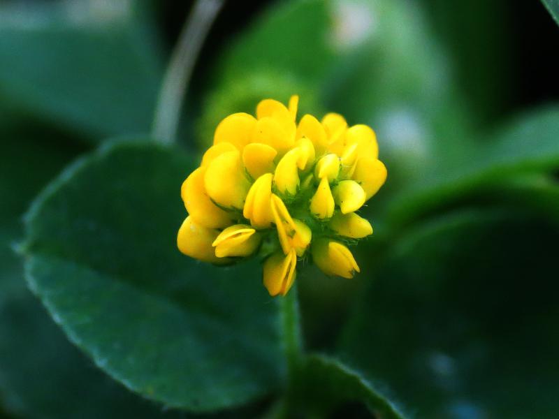 Black-Medick-flower