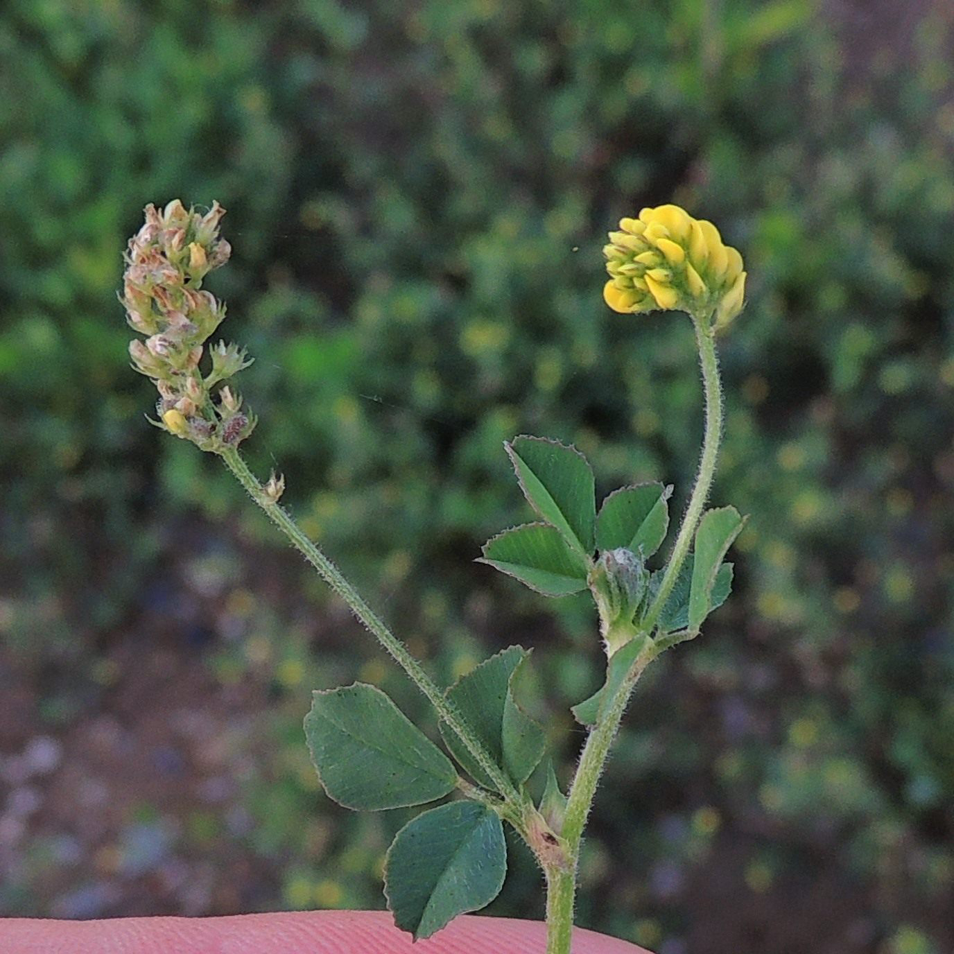 Black-Medick-flowers-and-buds