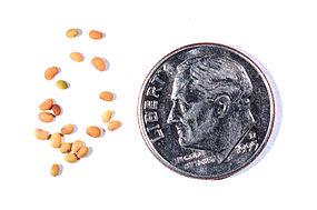 Black-Medick-seeds