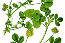 Black-Medick-plant-illustration