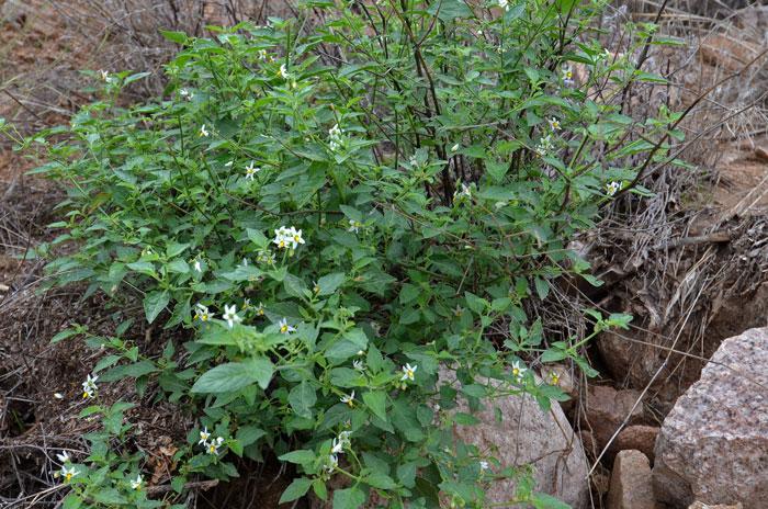 Black-Nightshade-Plant-growing-wild