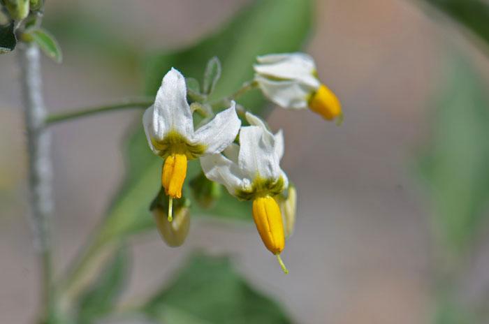 Flower-of-Black-Nightshade