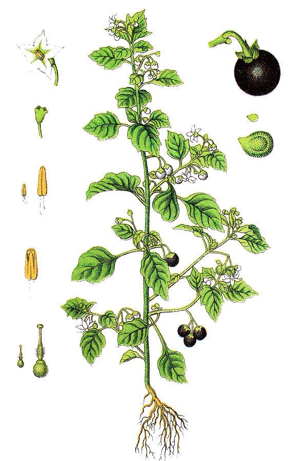 Plant-illustration-of-Black-Nightshade