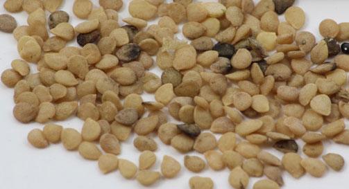 Seeds-of-Black-Nightshade