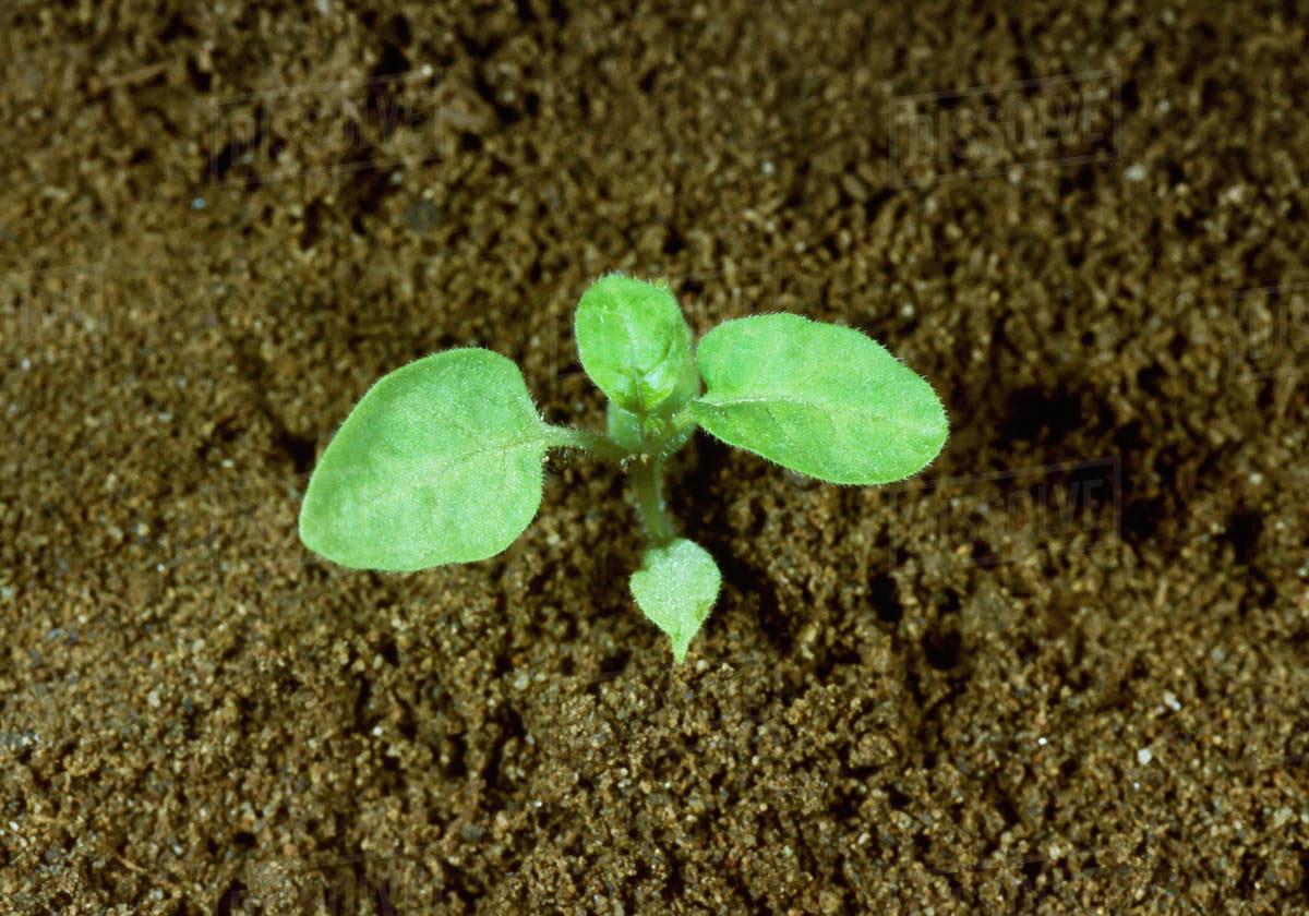 Small-Black-Nightshade-plant