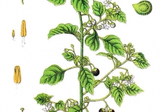 Plant-illustration-of-Black-Nightshade