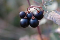 Ripe-Black-Nightshade