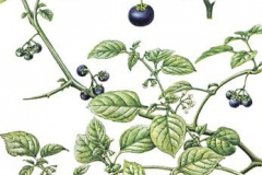 Sketch-of-Black-Nightshade