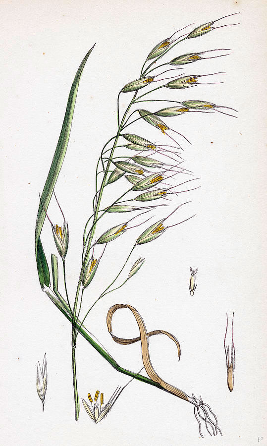 Plant-Illustration-of-Black-oat
