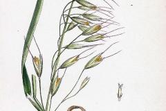 Plant-Illustration-of-Black-oat