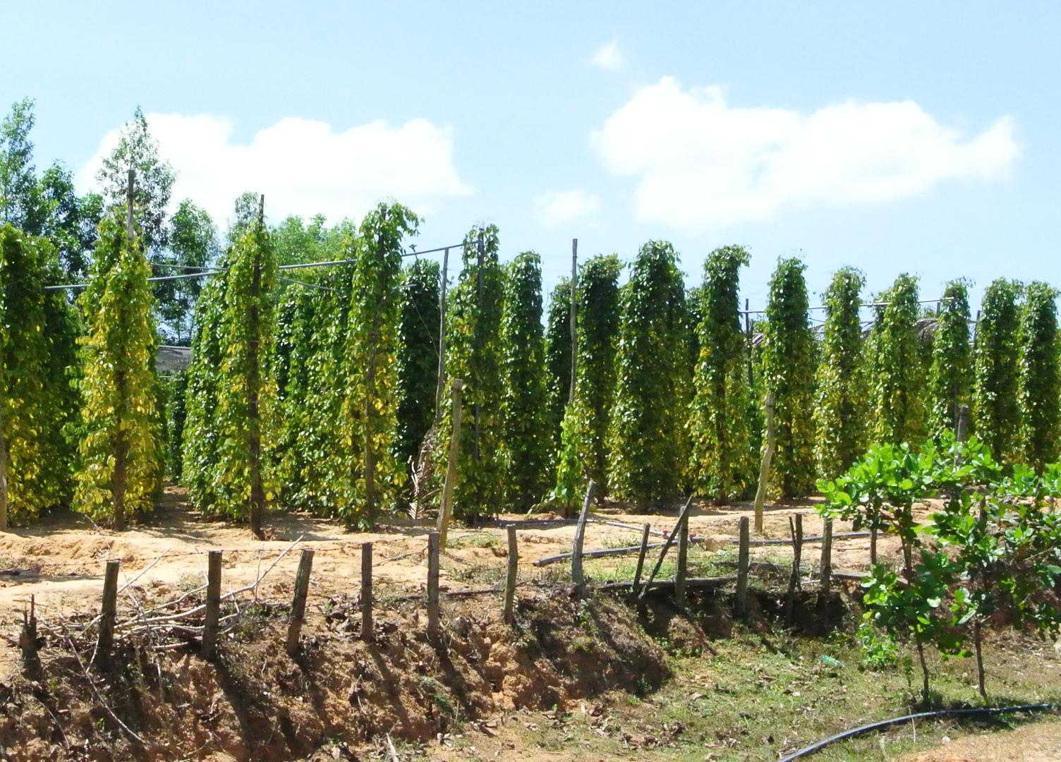 Black-pepper-farm