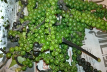 Unripe-Black-pepper