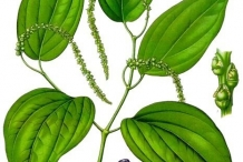 Plant-illustration-of-Black-pepper