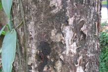 Black-plum-bark