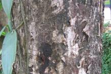 Black-plum-bark
