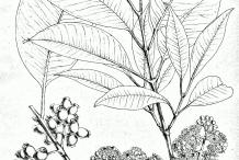 Black-plum-drawing
