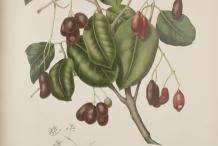 Black-plum-illustration