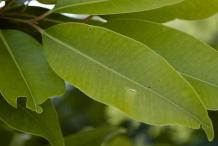 Black-plum-leaves
