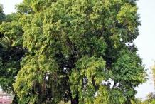 Black-plum-tree
