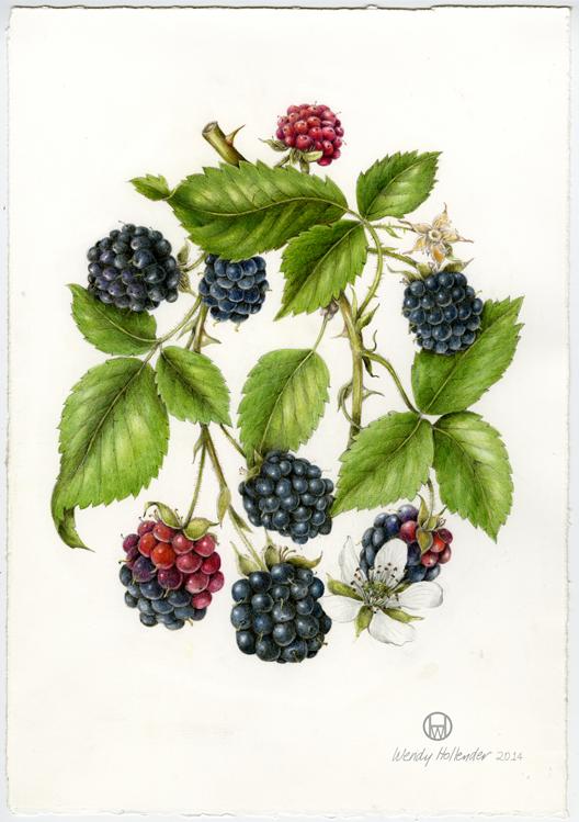 Plant-Illustration-of-Black-Raspberry