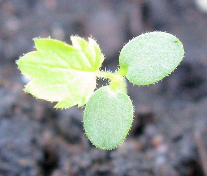Seedlings-of-Black-Raspberry