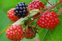 Black-Raspberry