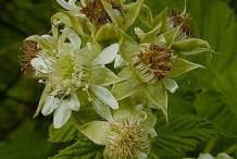 Flowers-of-Black-Raspberry
