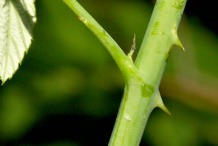 Thorns-of-Black-Raspberry