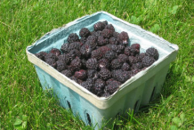 Collected-Black-Raspberry