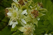Flowers-of-Black-Raspberry