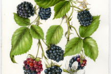Plant-Illustration-of-Black-Raspberry