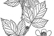 Sketch-of-Black-Raspberry