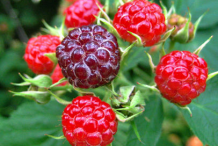Unripe-Black-Raspberry