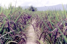 Black-rice-farm