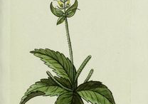 Plant-Illustrations-of-Black-Root-plant