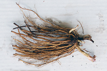 Roots-of-Black-Root-plant