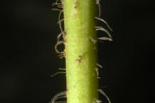 Stem-of-Black-Root-plant