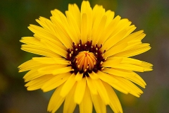 Flower-of-Black-salsify